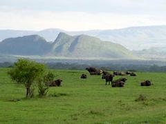 Soysambu Conservancy - Kenya buffalo herd