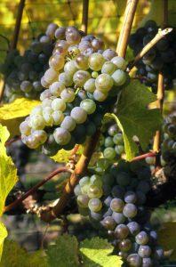 Okanagan grapes make great Okanagan wine